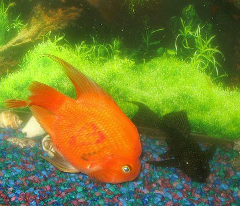 csipegető aranyhal