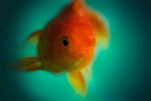Mitől idegesek a halak az akváriumban? - viselkedés és okok