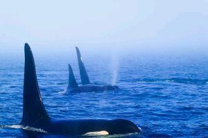 A kardszárnyú delfin (Orcinus orca)