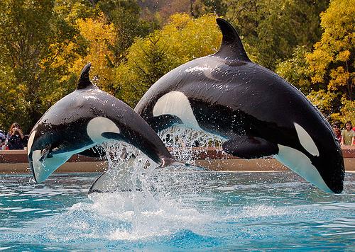 orcinus-orca