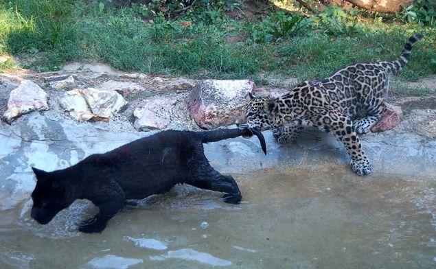 jaguár, jaguár kölyök, sóstói állatpark