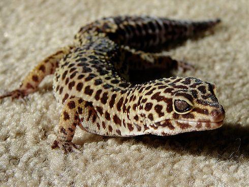 leopard-gekko