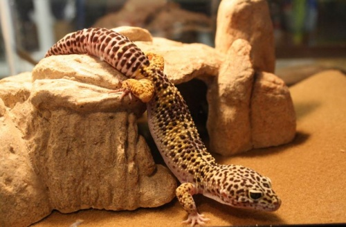 leopard_gekko1