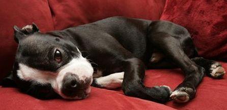boston-terrier-kutyus