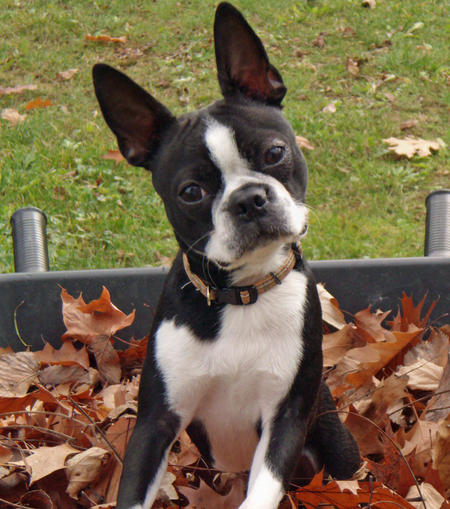 boston-terrier-kutyus