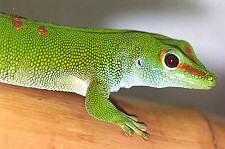 Madagaszkári nappali gekkók: ha durva vagy velük, kiugranak a bőrükből