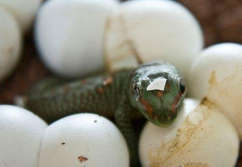 gekkó, tojás, születés