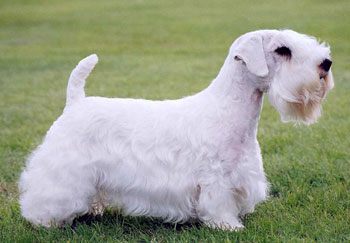 sealyham-terrier-kutya