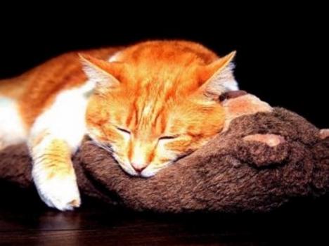 cica, macska, vörös macska