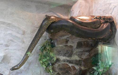 anakonda, kígyó, óriáskígyó