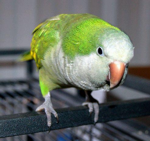 kövér, madár, papagáj