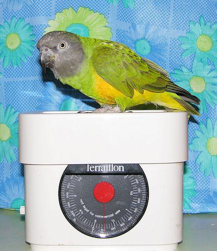 kövér, madár, mérleg