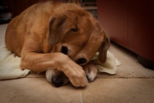 szégyenlős kutya