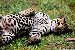 Ocelot: Dél-Amerika csodás vadmacskája