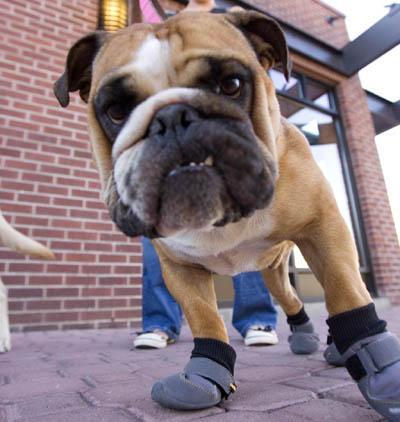 kutyatartás, tél, kutya, kutyacipő