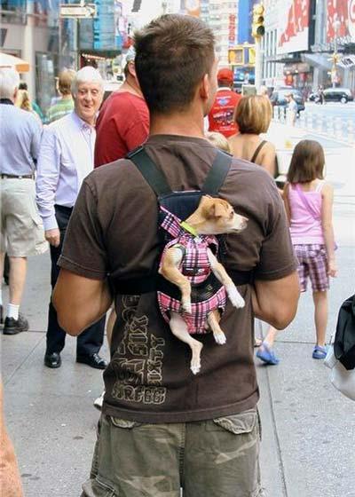 kutya, ember, társ, kiskutya, csivava