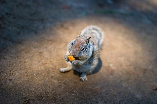 chickaree mókus