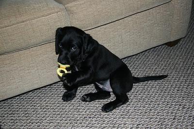 fekete-labrador-kiskutya