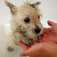 szobakutya fürdetése, kutya fürdik