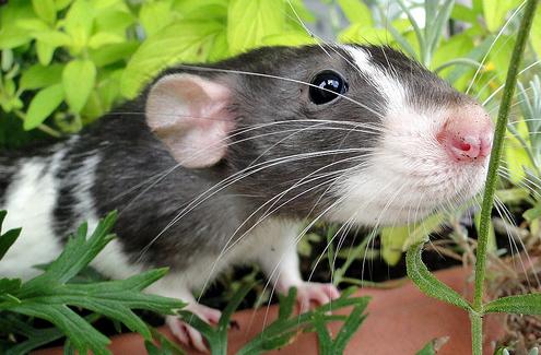 patkány játszik, patkány a kertben