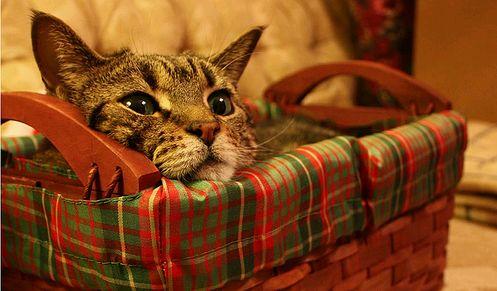 karacsony-cica