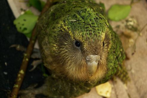 Kakapo, bagolypapagáj