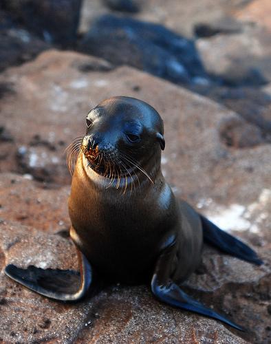 Fóka Galapagoson