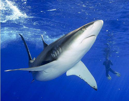 cápa galapagoson