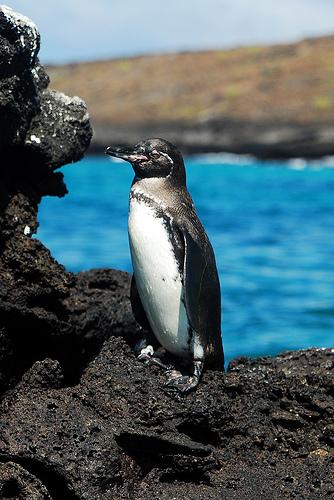 galapagosi pingvin