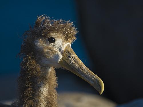 albatrosz bébi