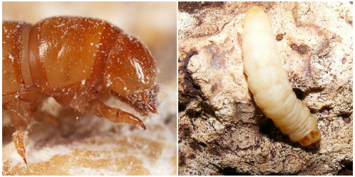 lisztbogar-larva