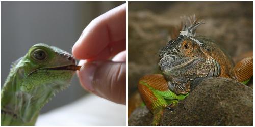 leguán eszik, iguana iguana