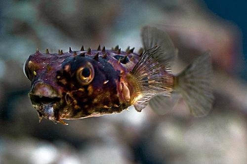 tüskés hal