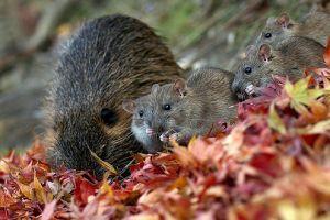 Mi a közös a krumplibogárban és a patkányban?