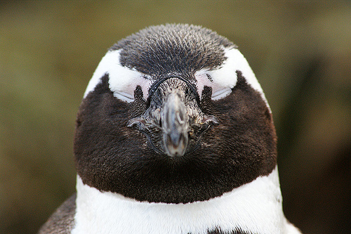 pápaszemes pingvinfej