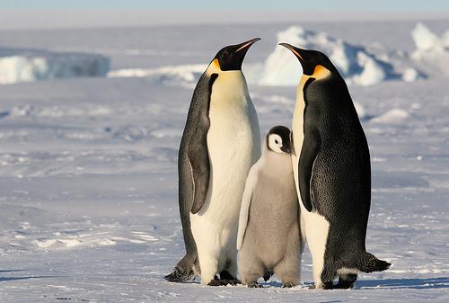 Császárpingvin család
