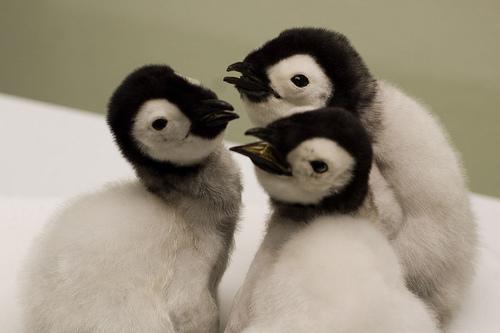 császárpingvin bébik