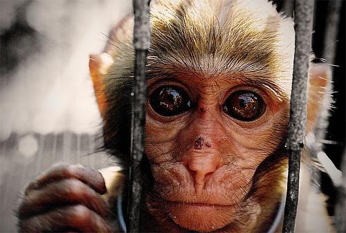 majom-ketrec
