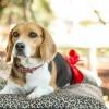 3 mód az álvemhes kutyánk gyógyítására