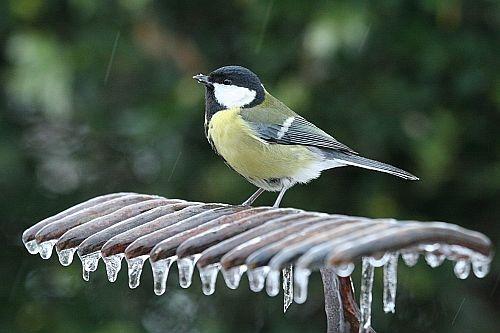 széncinege, tél, madár, madáretető