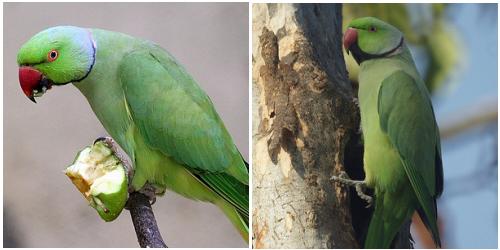 kissándor-papagáj