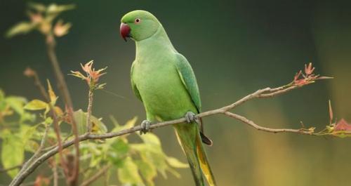 Milyen a kissándor-papagáj?