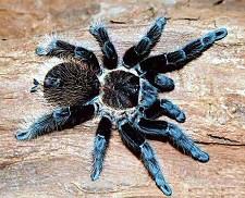 tarantula-kep