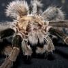 Tarantella, tarantula vagy madárpók?
