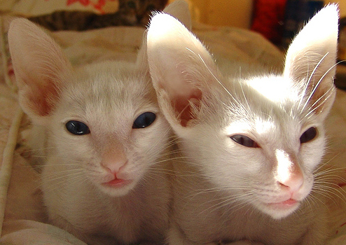 keleti macskák