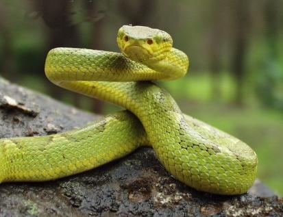 fűzöld bambuszvipera, kígyó, vipera, hüllő