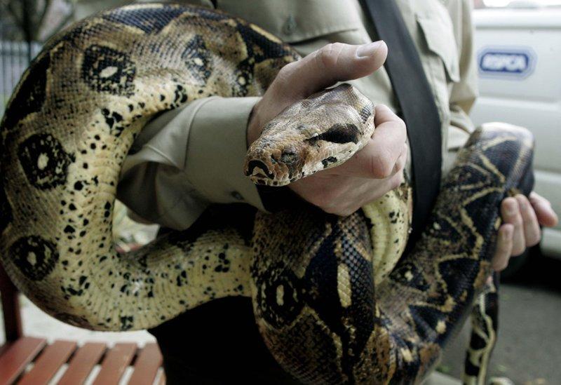 óriáskígyó, boa constrictor, kígyó, hüllő