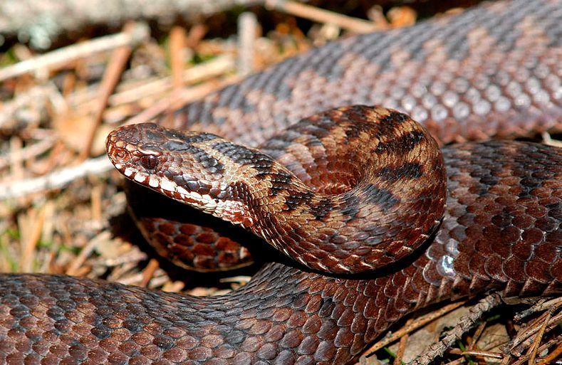 keresztes vipera, vipera, kígyó, hüllő