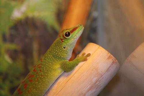 madagascar-day-gecko-587413_1280