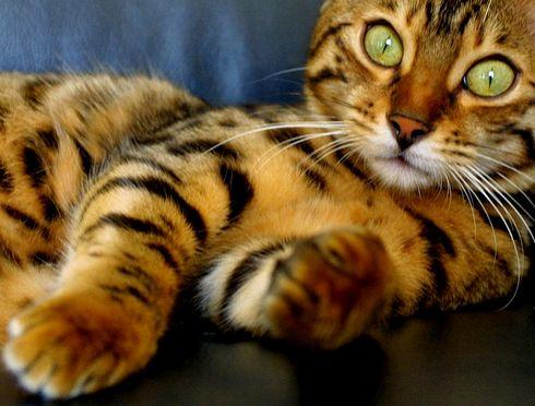 gyönyörű cica